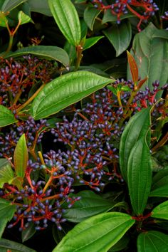 David Viburnum: Showy evergreen shrub valued for its glossy dark green leaves and metallic turquoise blue fruit. Planting two or more plants will ensure good cross pollination for consistent berry production. Use as foundation shrub with Ferns, Azaleas and other acid loving plants.