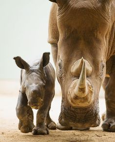 – – – – – – ・・・ Proud to announce the birth of another adorable white rhino… Australia Zoo . – – – – – – ・・・ Proud to announce the birth of another adorable white rhino… Australia Zoo . Cute Baby Animals, Animals And Pets, Funny Animals, Wild Animals, Rhino Animal, Save The Rhino, Baby Rhino, Mundo Animal, Belle Photo