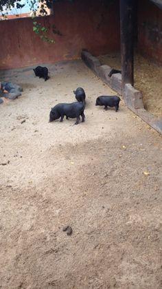 Rancho Texas Pigs