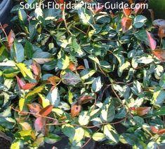 'Summer Sunset' foliage in orange, yellow and green Florida Plants, Plant Guide, Ground Cover Plants, Starting A Garden, Summer Sunset, Jasmine, Orange Yellow, Courtyard Gardens, Green