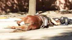 Tudo aconteceu no início de dezembro, quando 'Charlotte', uma égua da polícia de patrulha do Departamento de Houston, EUA, se assustou, deixou cair o cavaleiro e, em fuga, acabou por ser violentamente atropelada por um camião.