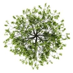 tree top view: top view of willow tree isolated on white background Stock Photo