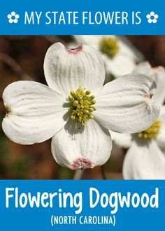 #NorthCarolina's state flower is the Flowering Dogwood. What's your state flower? http://pinterest.com/hometalk/hometalk-state-flowers/