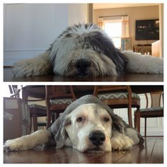 Old English Sheepdog before and after his haircut