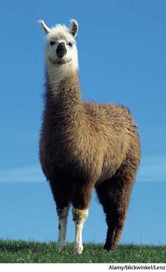 Cartoon Llama, Funny Llama, Cute Llama, Alpacas, Llama Pictures, Animal Pictures, Baby Animals, Funny Animals, Cute Animals