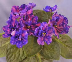 Image result for african-violet