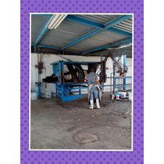 """Colocación de Hoofblock en un """"potro"""" hidráulico para pronta recuperación de problemas podales en vacas."""