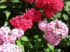 Phlox 2013 Plants, Photos, Pictures, Flora, Plant, Planting, Cake Smash Pictures