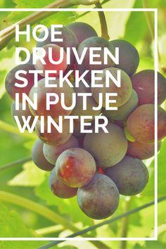 3 simpele stappen om een druivelaar te stekken in de winter. Maak van 1 stek meerdere druivenstruiken. #druif #stekken #tuin #druiven #druivelaar
