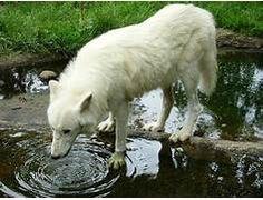Albino wolf | Rare Animals | Pinterest | To tell, Will ...