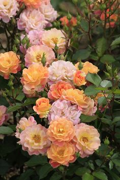 'Bordure Camaieu' | Shrub Rose. Bred by G. Delbard (France, 2001)