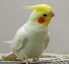 5 tips for owning a cockatiel http://www.animalmayhem.com/5-tips-for-owning-a-cockatiel/