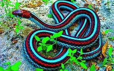 California Red-Sided Garter Snake | 22 Colorful Animals Who Look Too Beautiful To Be Real