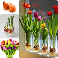 2 bulbs true tulip bulb,tulip flower,(not tulip seeds),flower bulbs,outdoor plant,Natural growth,bonsai pot for home garden *** Want to know more, click on the image. #GardenSupplies