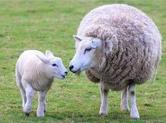 lamb and momma sheep
