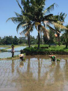 planting rice, Bali