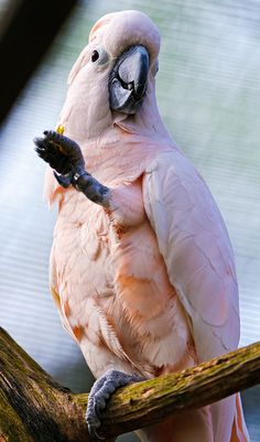 Pink cockatoo with lifted leg by Tambako the Jaguar, via Flickr