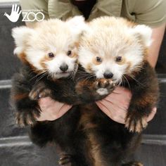 These cuties currently live at the Lincoln Children's Zoo, but mostly they live in your heart.