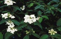 Viburnum plicatum 'Watanabe' (Japanse Sneeuwbal), bloem als schoteltje op tak, prachtige struik, frisgroen in voorjaar, groeit breed horizontaal