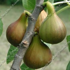 The fig tree. Blech. Gross. No figs. Not ever.