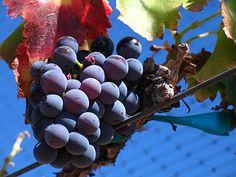 Garnacha Vinos con denominación