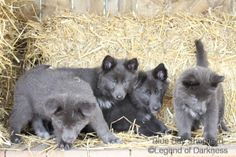 Diversity in Black German Shepherd Colors German Shepherd Colors, German Shepherd Puppies, German Shepherds, Animals And Pets, Baby Animals, Cute Animals, Blue Bay Shepherd, Pet Dogs, Dog Cat