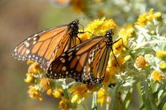 How to Build a Butterfly Garden and save the Monarchs....