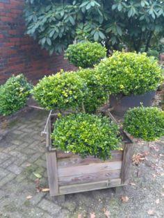 Schönes Formgehölz in dekorativer Holzumrandung. Pflanzung im Garten möglich.Ilex crenata Glory Gem ca. 80cm hoch, mehrtriebig, Köpfe 40-45cm im Durchmesser.Selbsabholung erwünscht. Versand nur innerhalb Deutschlands per Spedition. Versandkosten werden dem Käufer zusätzlich mit 80€ berechnet.Wir kultivieren ein großes Sortiment an Bonsai und Formschnitt Gehölzen sowie Gartenpflanzen. Bei uns finden Sie seltene Pflanzen und Besonderheiten für Ihren Garten in verschiedenen Größen.Besuchen Sie…