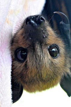 Bat face! Soooooooooo cute. T- remember our fruit bat friend who was happy to see us? Love bats ever since