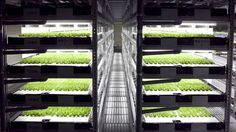 Automated indoor vertical farm will produce 30,000 heads of lettuce per day