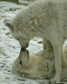 Wolf snuggle