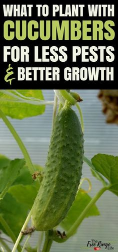 Vegetable Gardening Ideas: Do you have trouble with growing great cucumbers organically? Learn about which crops make great cucumber companion plants and which ones should be kept far away in the garden.