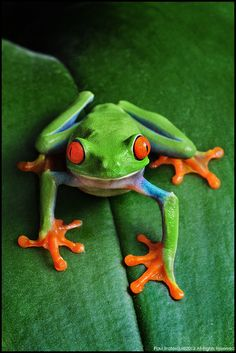 Red-eye Tree Frog by Paul Bratescu on 500px