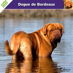 Calendrier chien 2017 - Race Dogue de Bordeaux - Affixe Edition