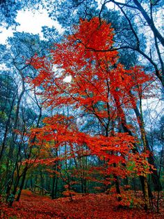 Why leaves change color in fall Earth EarthSky red color tree - Red Things Leaves Changing Color, Today Images, Autumn Scenes, Tree Leaves, Fall Leaves, Lovely Smile, Red Tree, Colorful Trees, Light Art