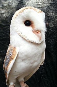 Barn owl <3