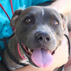 Dog ready for adoption: Pit Bull Terrier (short coat) named *LIBERTY in Las Vegas, NV |