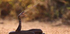 ...На горячую линию поступил звонок от местной жительницы. Женщина сообщила, что у нее во дворе замечена кобра. На место выехал патруль и за минуту опасная полутораметровая змея была в мешке. Смотрите видео на сайте.  http://islandlife.ru/news_island/254-kak-pojmat-kobru.html