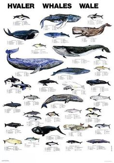 I tracked down this poster after seeing it in Tromso, then got a similar one in Husavik, listing the whales of Iceland.