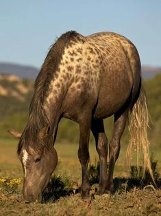 Karachay horse with leopard markings. The Karachai is a rare Russian breed originating in the Karachai–Cherkessya Republic. Leopard spotting doesn't seem to be rare in the breed.: