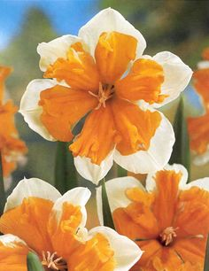I like the orange daffodils