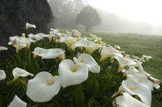 Calla lilies Zantadeschia Aetiopica