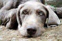 Slovakian Rough-haired Pointer / Slovak Wirehaired / Slovenský hrubosrstý Stavač #Dogs