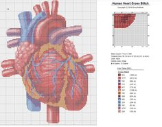 Human Heart X-Stitch Anatomical Detailed Realistic Cross