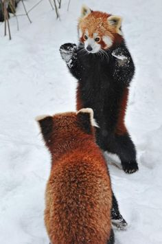 The two red pandas showed off their fighting prowess at a zoo in Vienna.