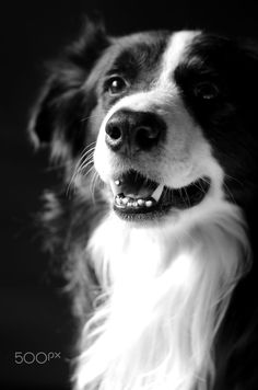 Border Collie portrait