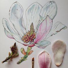 Noel Badges Pugh's botanical illustrations
