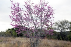 The redbud trees are blooming. It's officially spring in the Texas Hill Country.  (at Brushy Top Ranch, March 21, 2013).