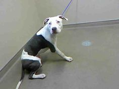 *WINSTON - ID#A722645  Shelter staff named me WINSTON.  I am a male, white and gray Pit Bull Terrier.  The shelter staff think I am about 6 months old.  I have been at the shelter since Jun 16, 2013.