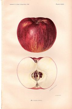 """McIntosh Apple"" ~ from the Yearbook of the U.S. Dept of Agriculture, 1901."